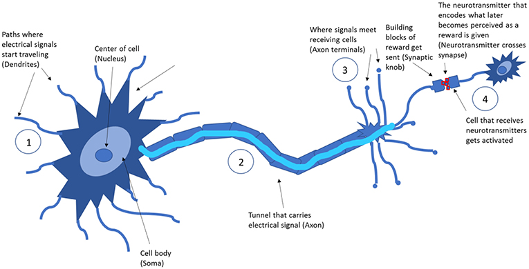 "Figure 1 - One neuron communicating with another neuron; highlighted are the parts involved in ""reward"" transfer."