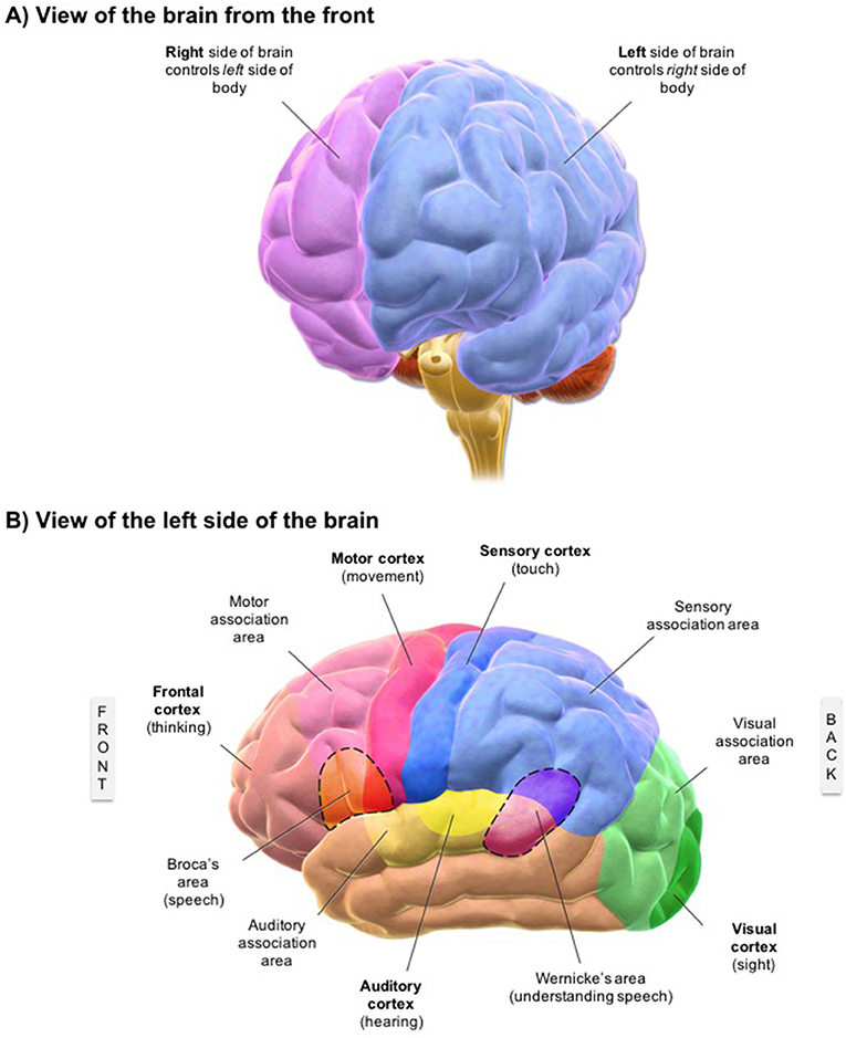 Figure 2 - (A) View of the brain from the front.