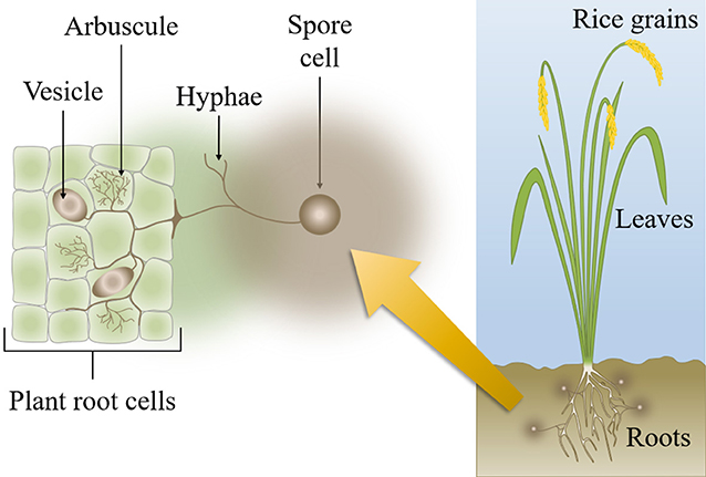 Figure 1 - Symbiosis between AMF and a few cells in the outer layer of a plant's root tissue.
