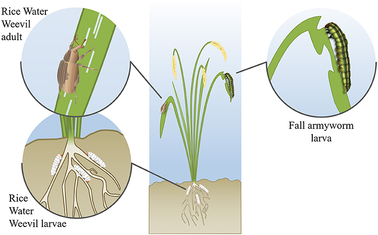 Figure 2 - Common pests, such as rice water weevil and fall armyworm, attack rice throughout the plant's life cycle.