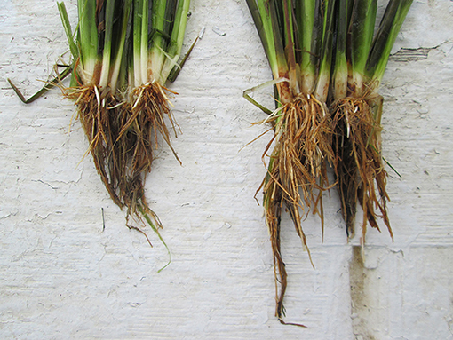Figure 3 - Rice water weevil root damage to rice plants.