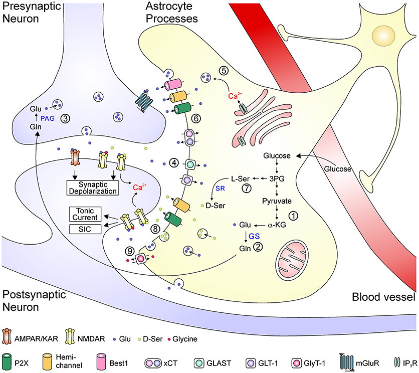 Frontiers | Astrocytic Regulation of Glutamate Transmission