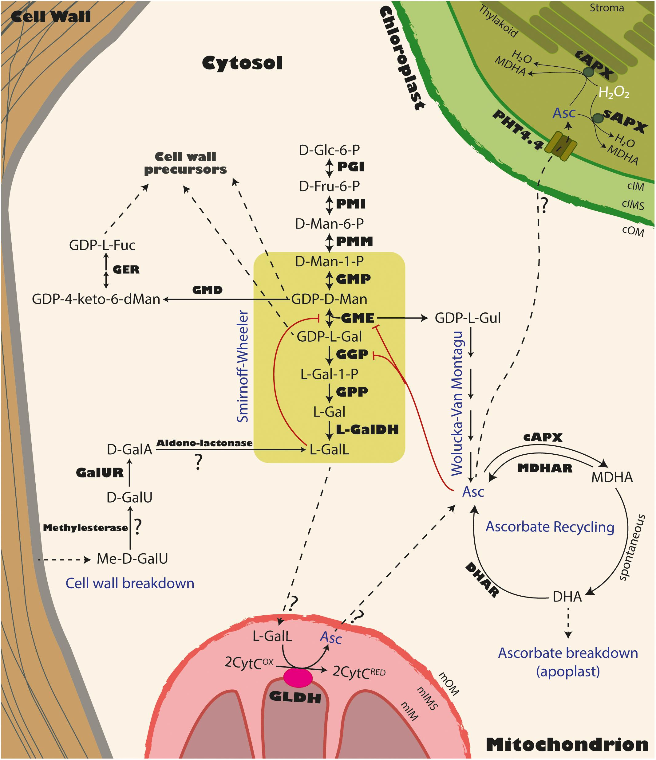 Frontiers | Vitamin C Content in Fruits: Biosynthesis and Regulation