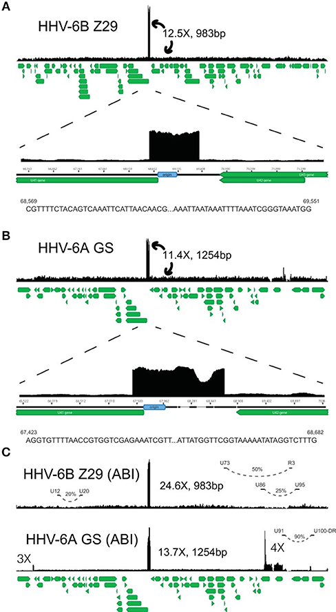 Frontiers | Human Herpesvirus 6 and Malignancy: A Review