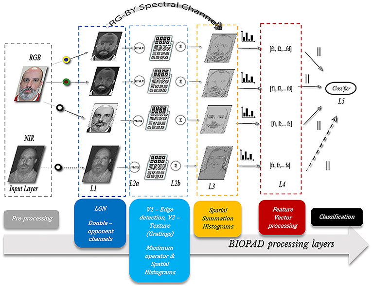 Frontiers | Bio-Inspired Presentation Attack Detection for