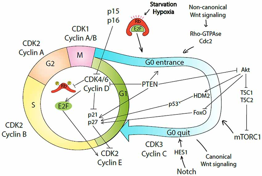 Frontiers   Molecular Mechanisms Governing the Stem Cell's