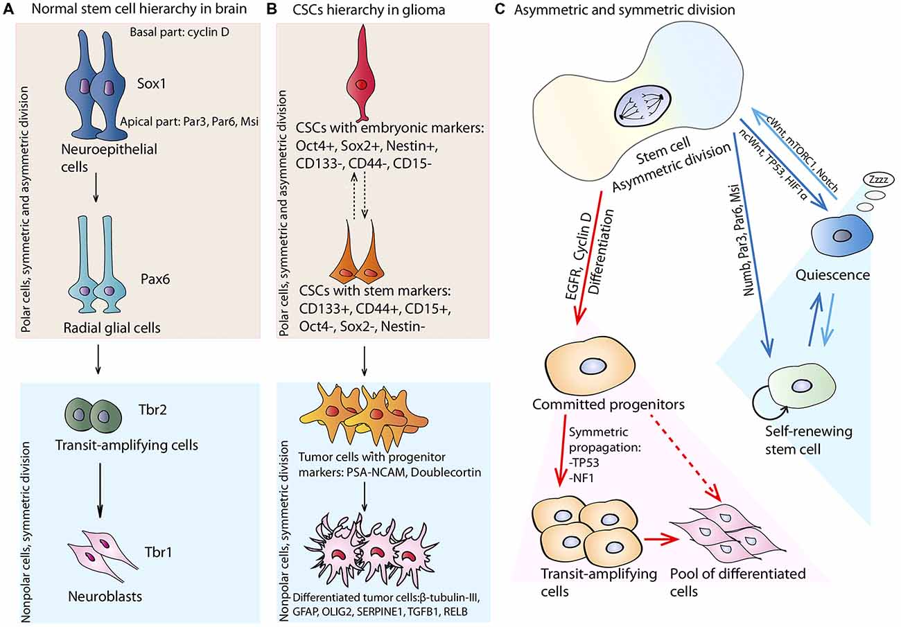 Frontiers | Molecular Mechanisms Governing the Stem Cell's
