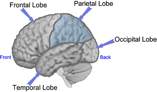 Figure 1 - Side view of the left side of the brain, with labels showing each of the lobes of the brain.