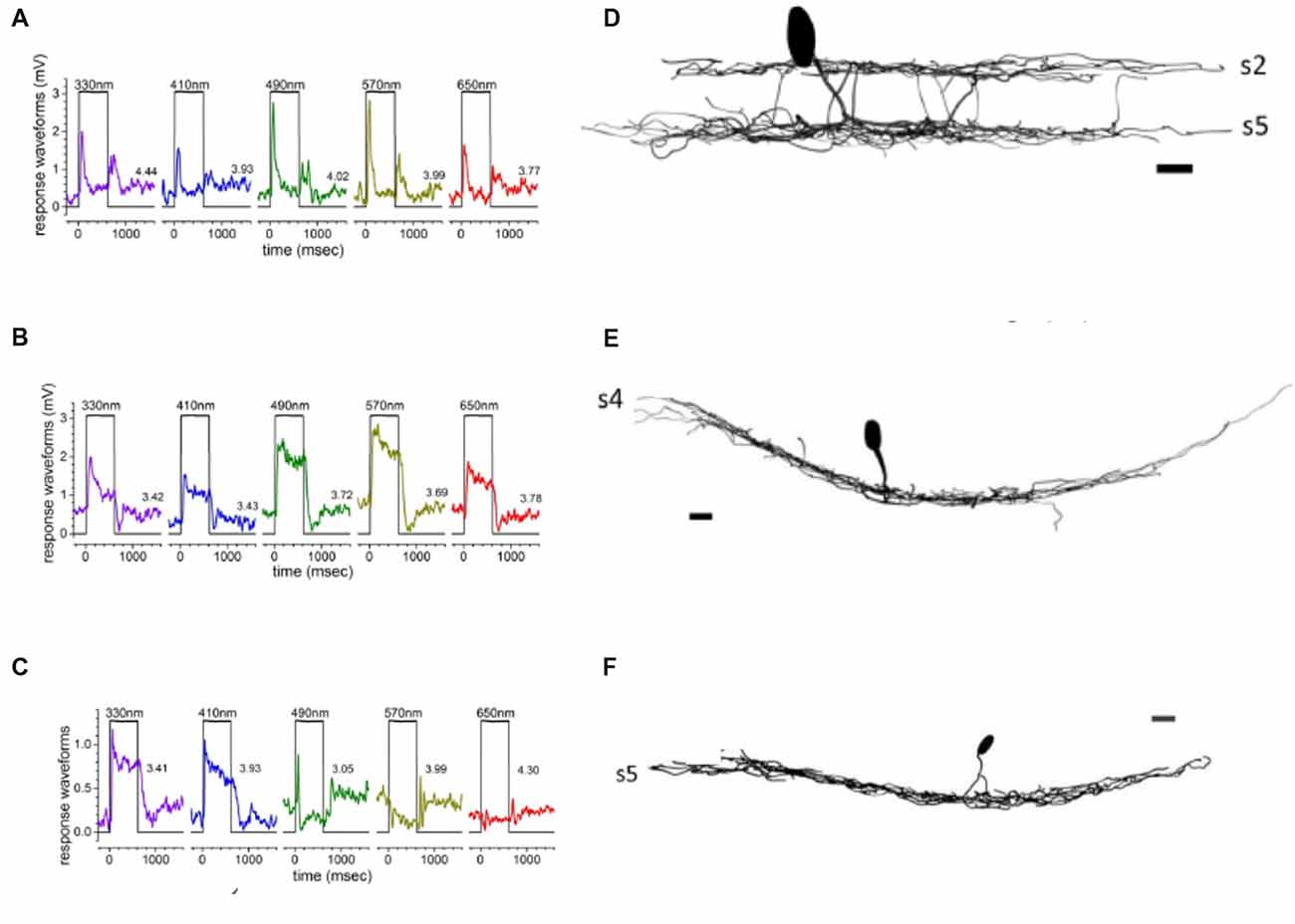 Frontiers | Color Processing in Zebrafish Retina | Cellular Neuroscience