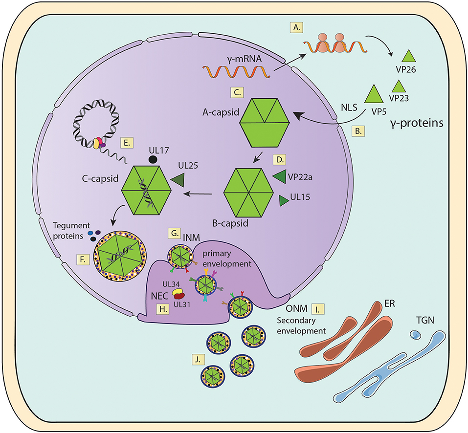 Frontiers | Experimental Dissection of the Lytic Replication Cycles