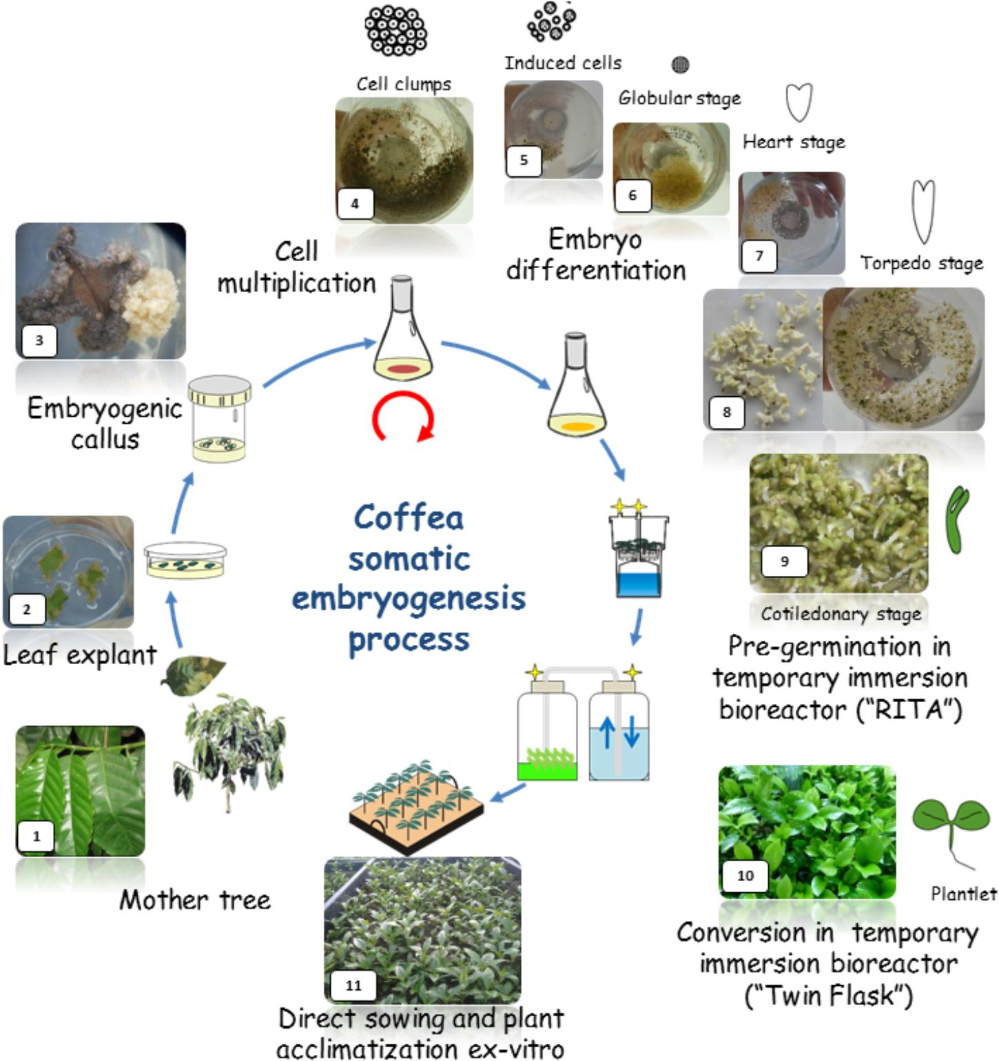 Frontiers | Coffee Somatic Embryogenesis: How Did Research