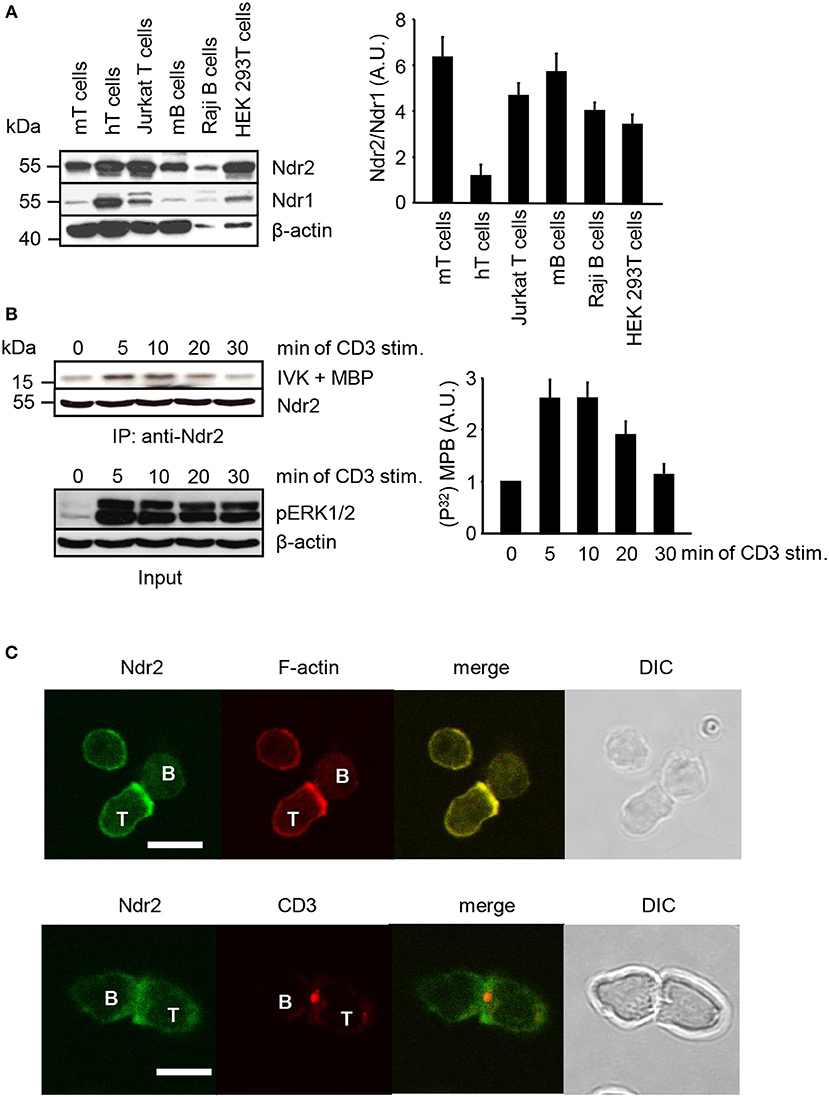 Angelika Baumgart frontiers | filamin a phosphorylation at serine 2152the