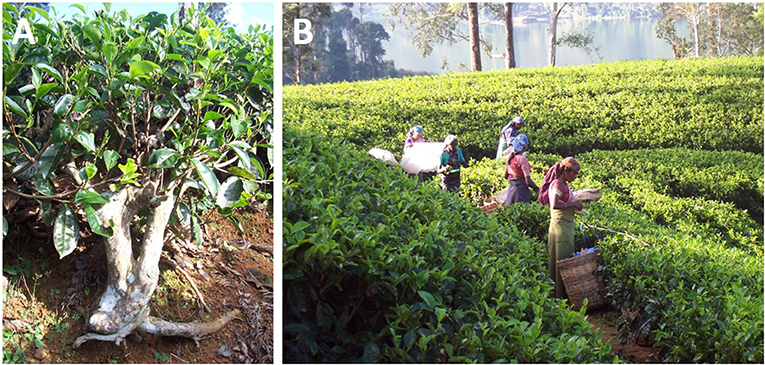 Figure 1 - (A) A tea bush and (B) a tea plantation, photographed next to the Castlereagh Reservoir in Sri Lanka.