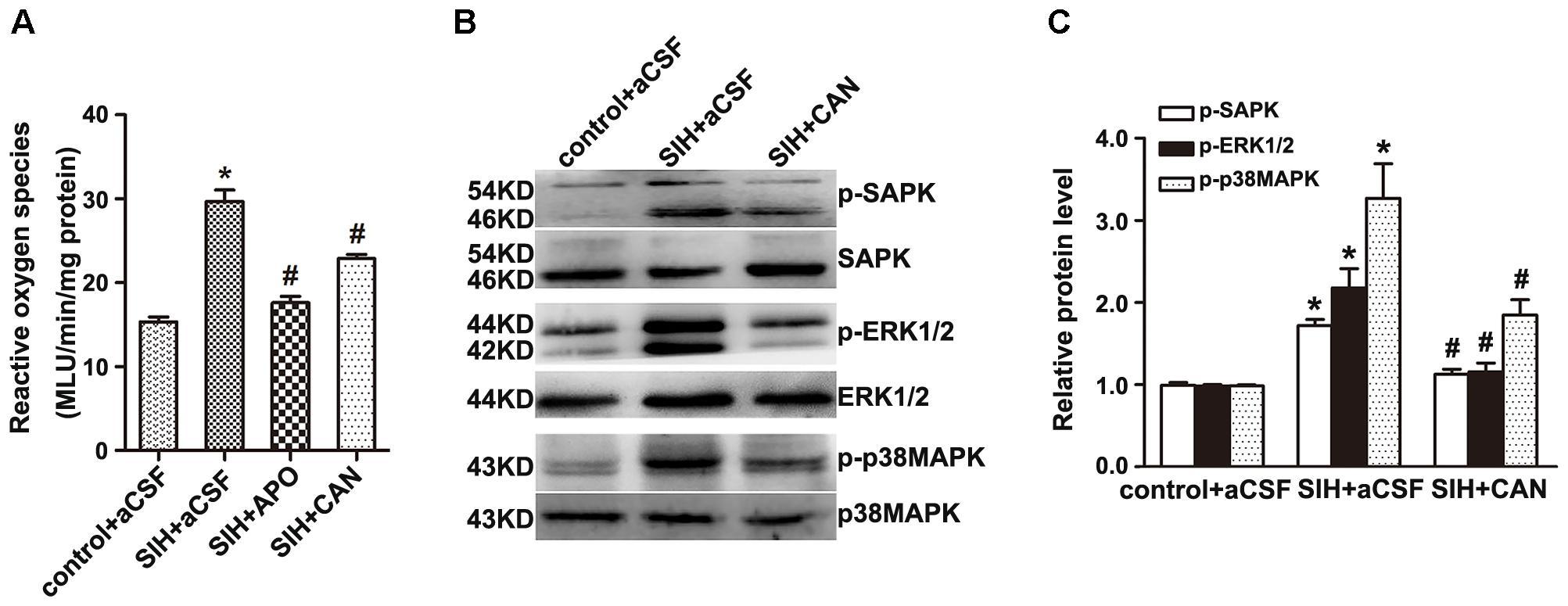 Frontiers   Upregulation of AT1 Receptor Mediates a Pressor