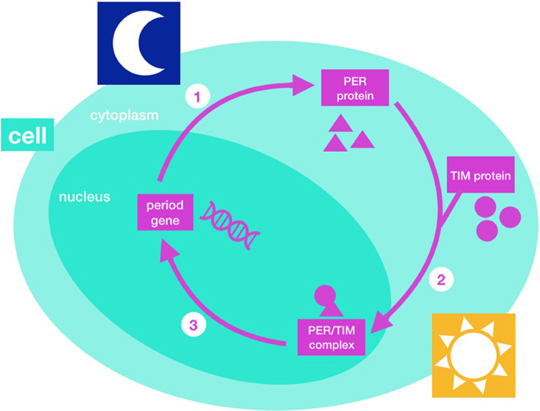 Figure 2 - Cogs of the biological clock.