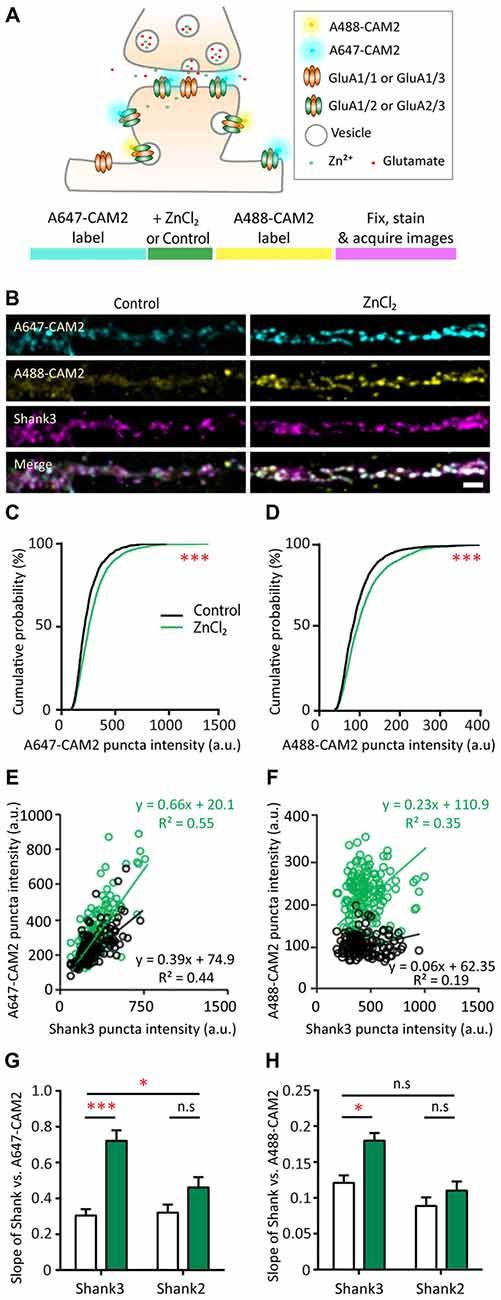 Frontiers | Shank and Zinc Mediate an AMPA Receptor Subunit