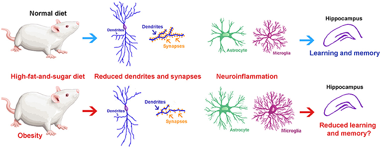Figure 2 - We studied what happens to the hippocampus after rats ate a high-fat-and-sugar diet for 7 days (bottom half) and compared it to rats eating a normal diet (upper half): (1) Neurons have fewer, shorter, and thinner dendrites; (2) Neurons had fewer synapses; and (3) Glial cells became activated by inflammation in the brain.