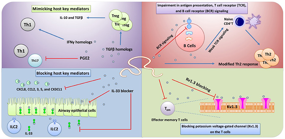 Helminth modulate immune response - Helminth immune response, - Helminth immune modulation