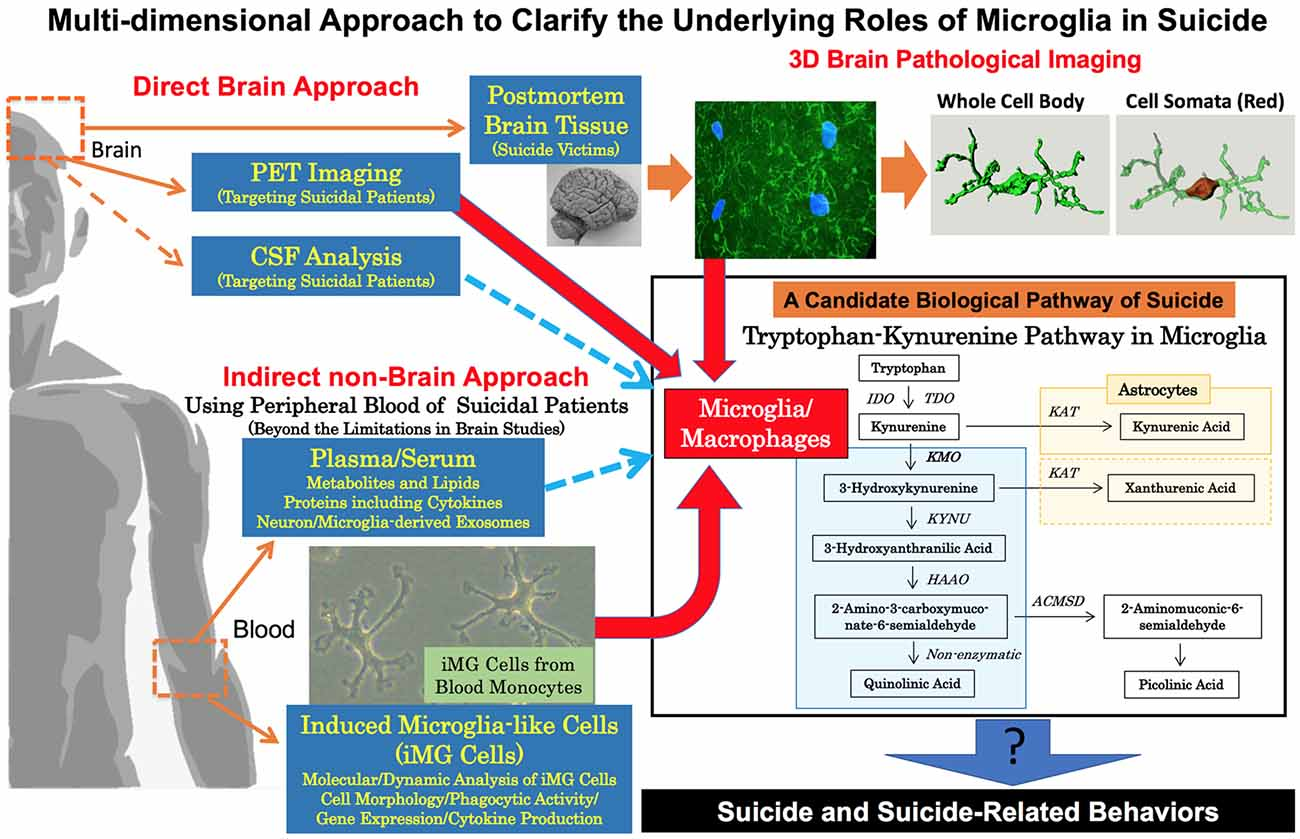 Frontiers | Suicide and Microglia: Recent Findings and