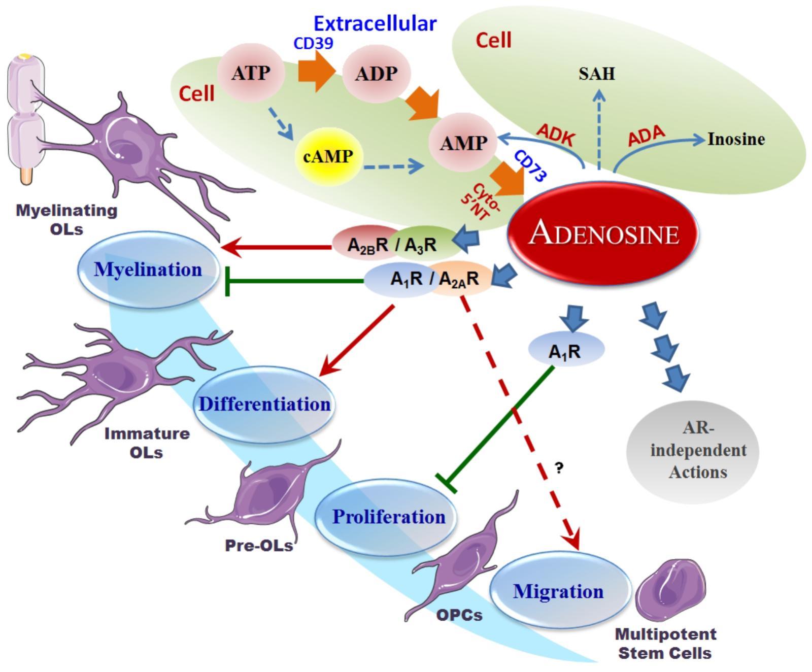 adenosine inflammation ketogenic diet