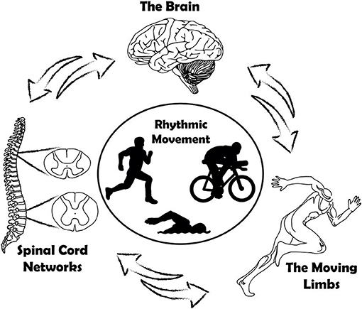 Figure 1 - The brain, spinal cord, and information from the moving limbs interact to control and maintain rhythmic movements.
