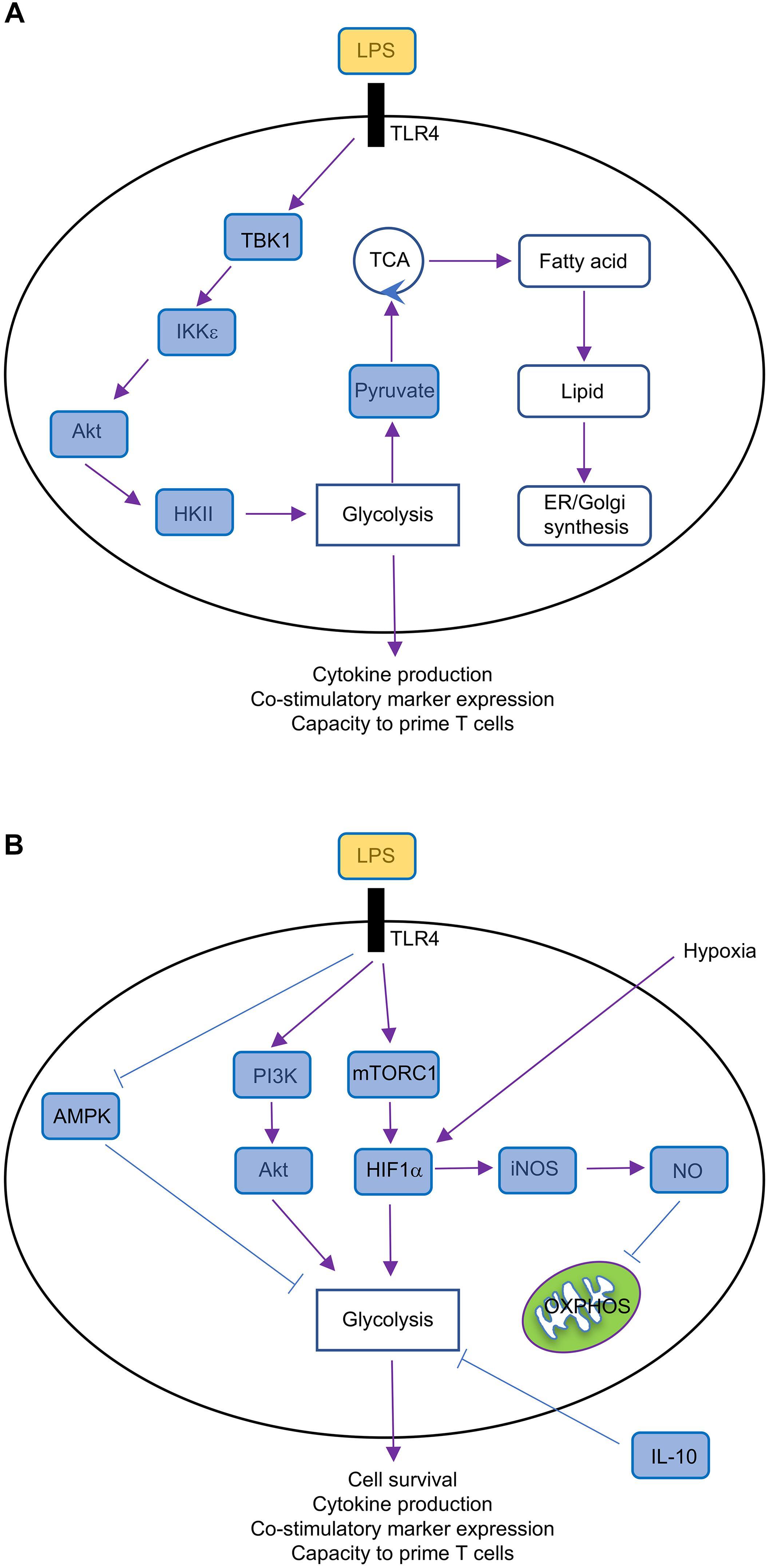 Frontiers | Emerging Roles of Cellular Metabolism in Regulating