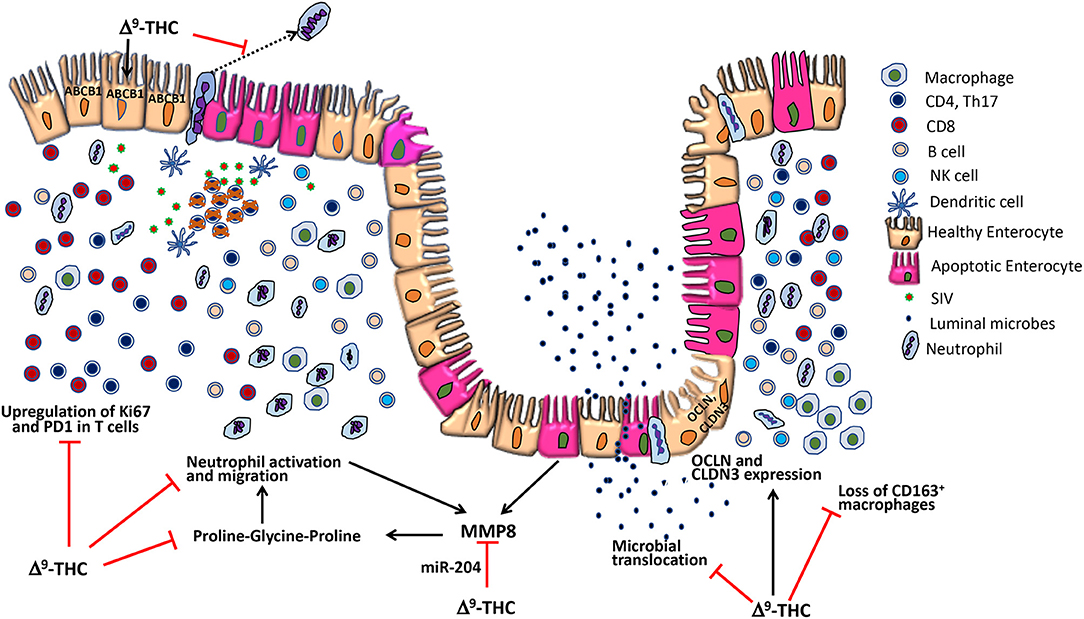 Frontiers | Cannabinoid Attenuation of Intestinal Inflammation in
