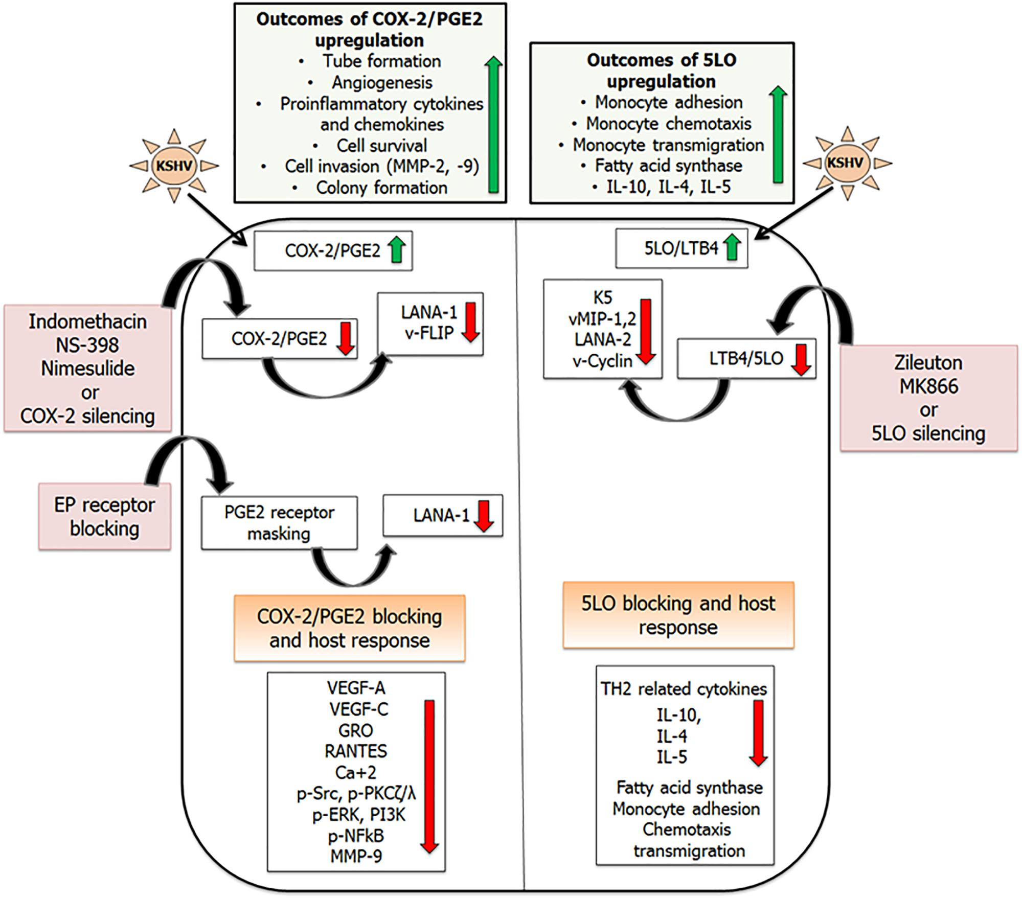Frontiers | Arachidonic Acid Derived Lipid Mediators Influence