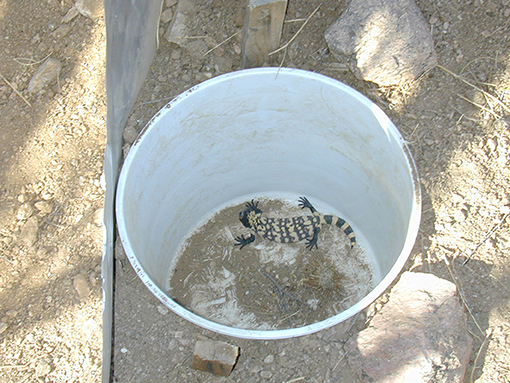 Figure 2 - A hatchling Gila monster that has fallen into a pitfall trap.