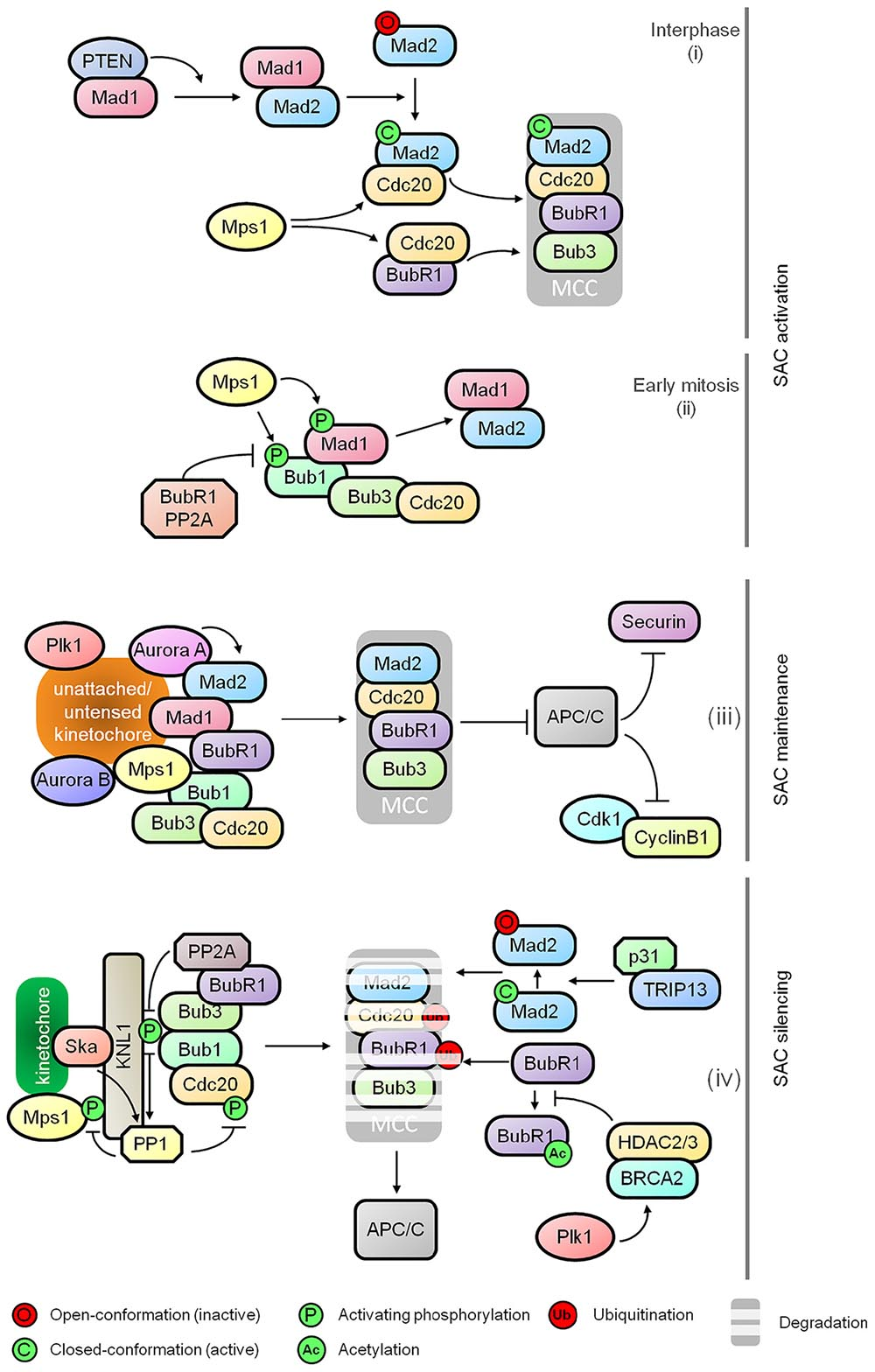 Frontiers | Mapping Mitotic Death: Functional Integration of