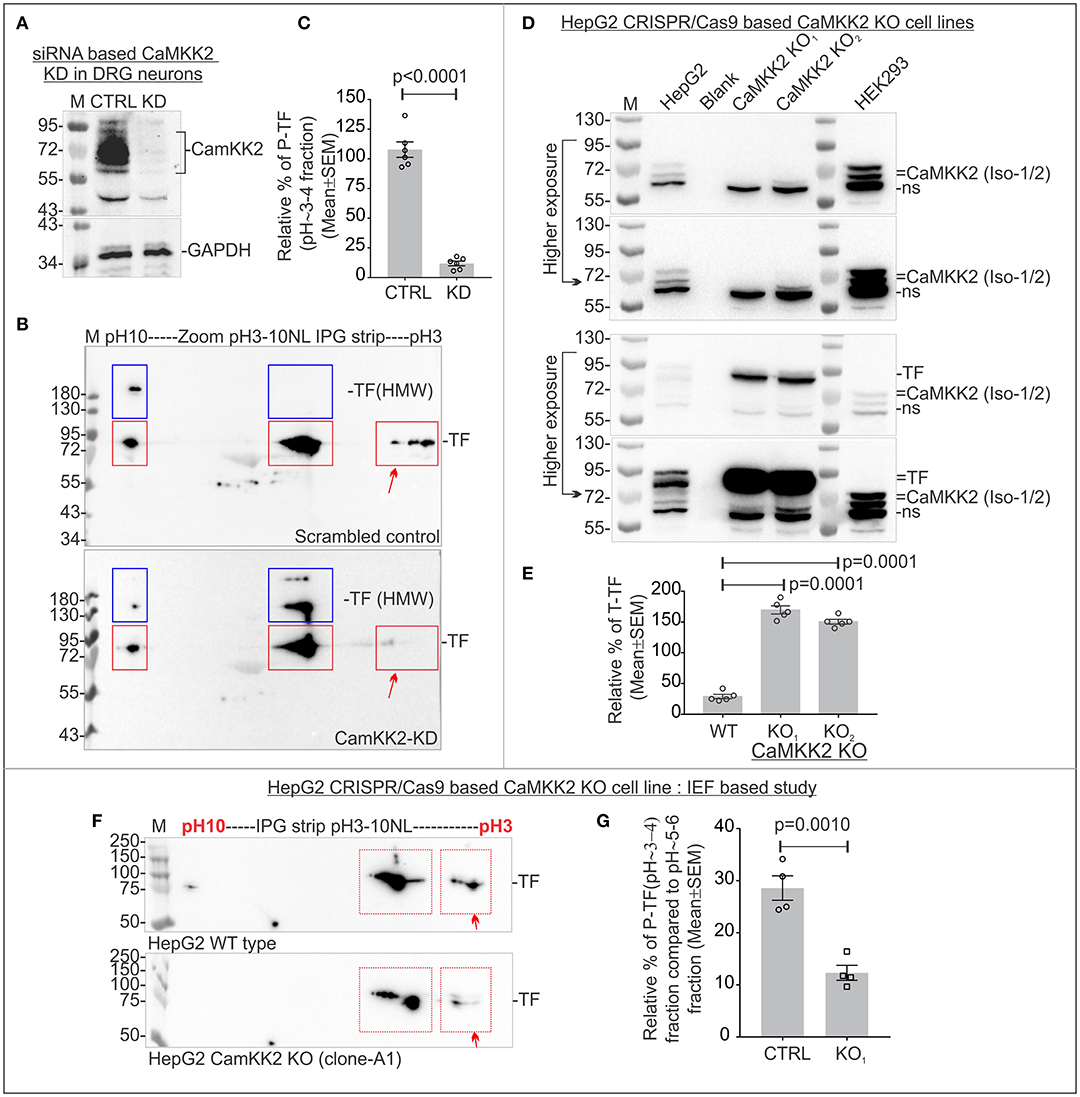 Frontiers | Loss of Ca2+/Calmodulin Dependent Protein Kinase