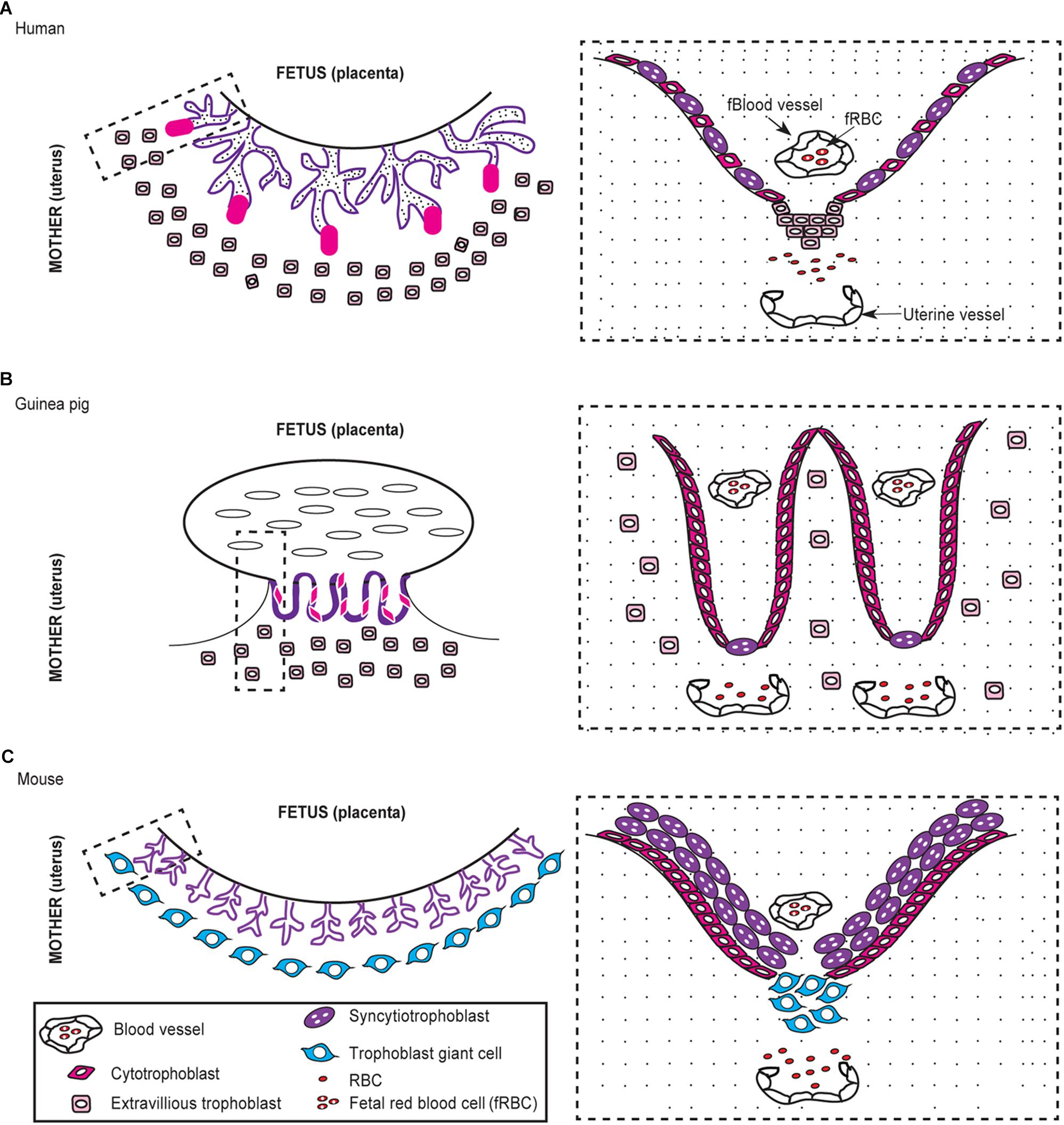 Frontiers | A Neglected Animal Model for a Neglected Disease