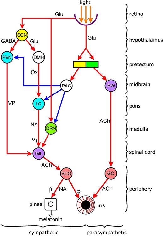 ciliospinal reflex pathway