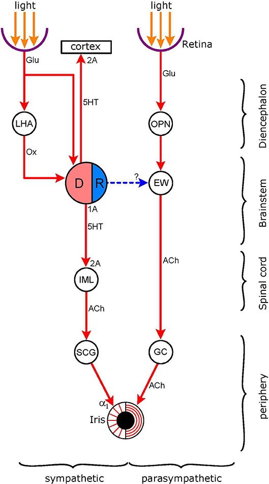 Frontiers | Functional Organization of the Sympathetic