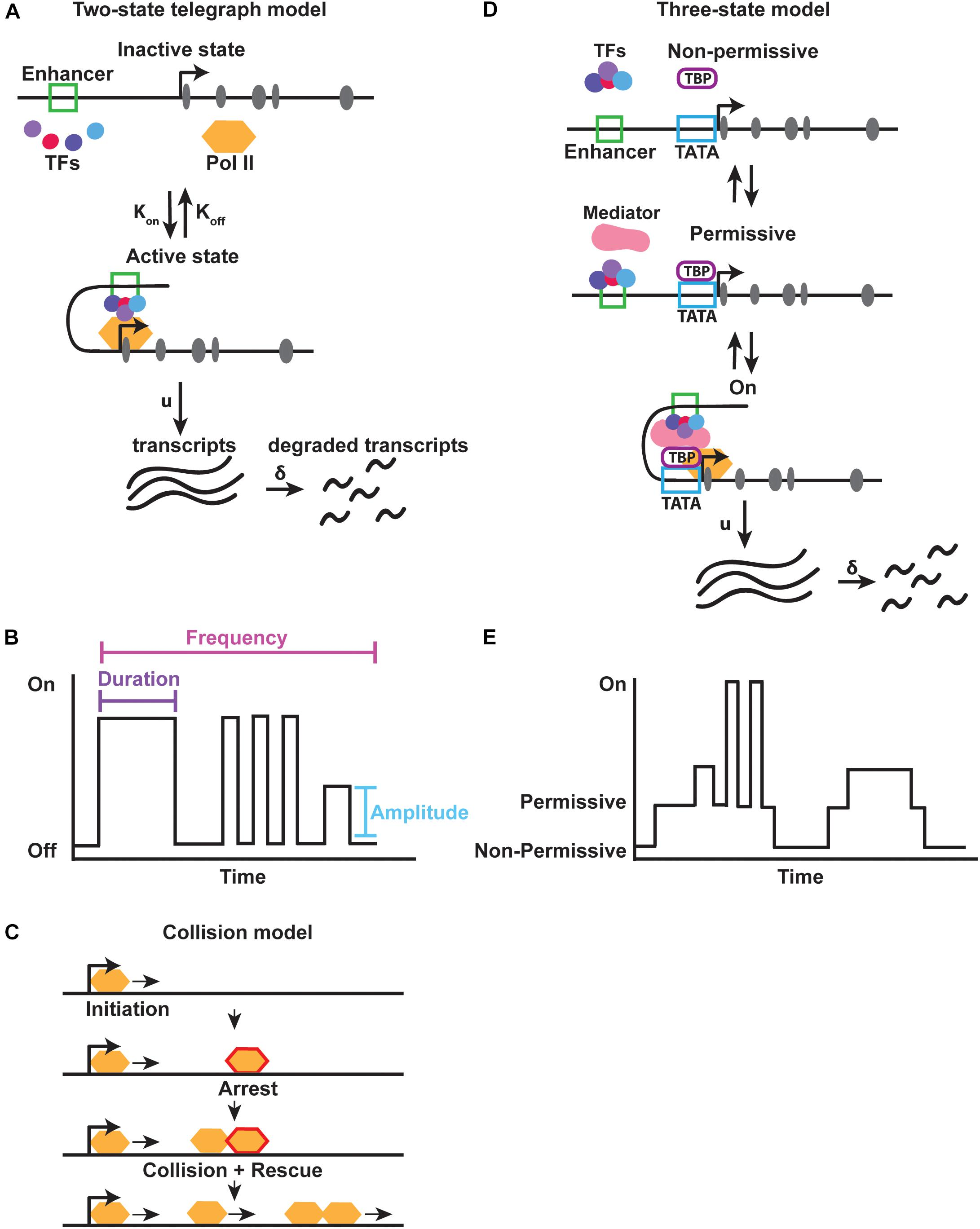 Frontiers | Buffering and Amplifying Transcriptional Noise