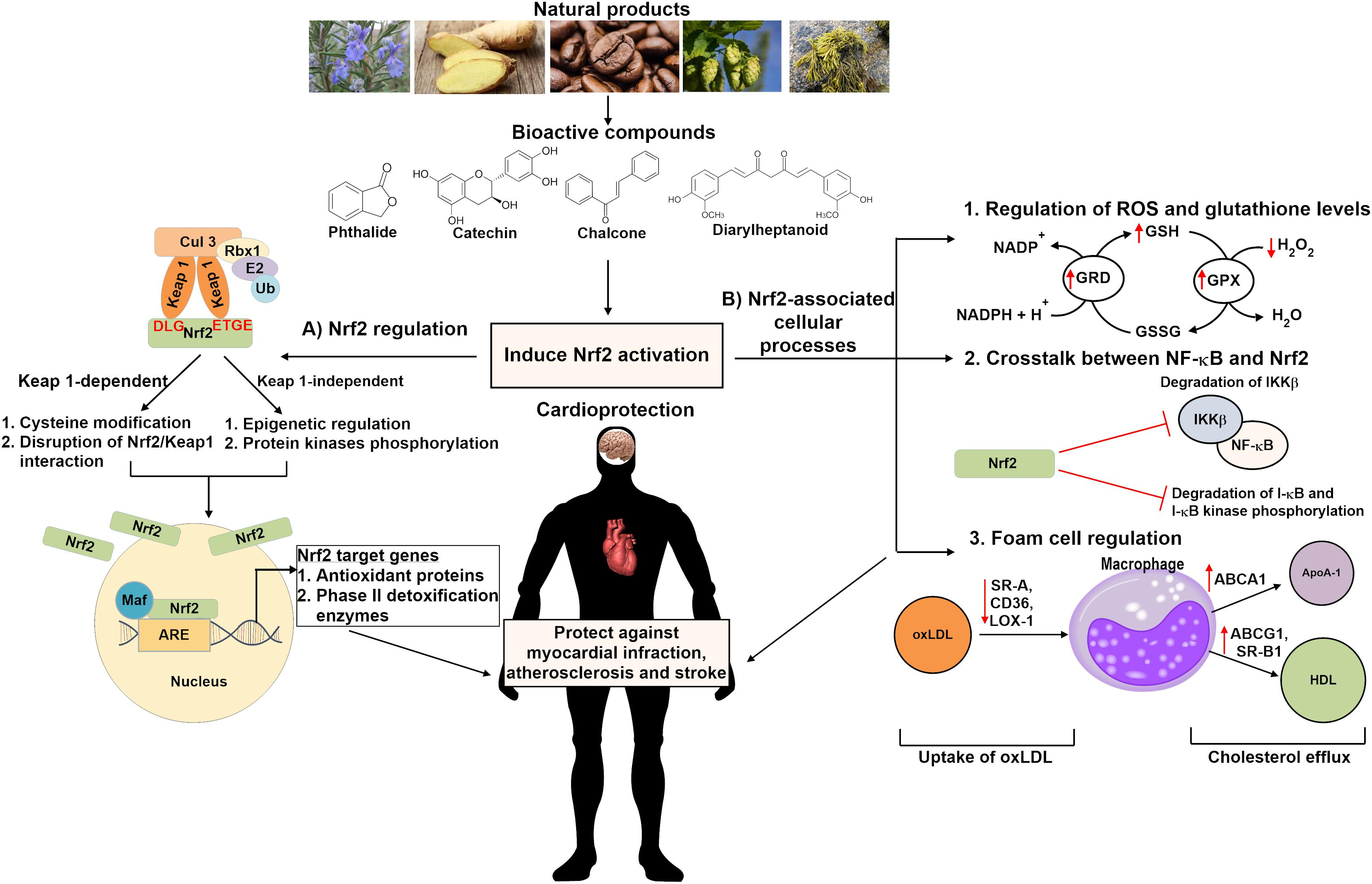 Frontiers The Role Of Natural Products In Targeting Cardiovascular Diseases Via Nrf2 Pathway Novel Molecular Mechanisms And Therapeutic Approaches Pharmacology