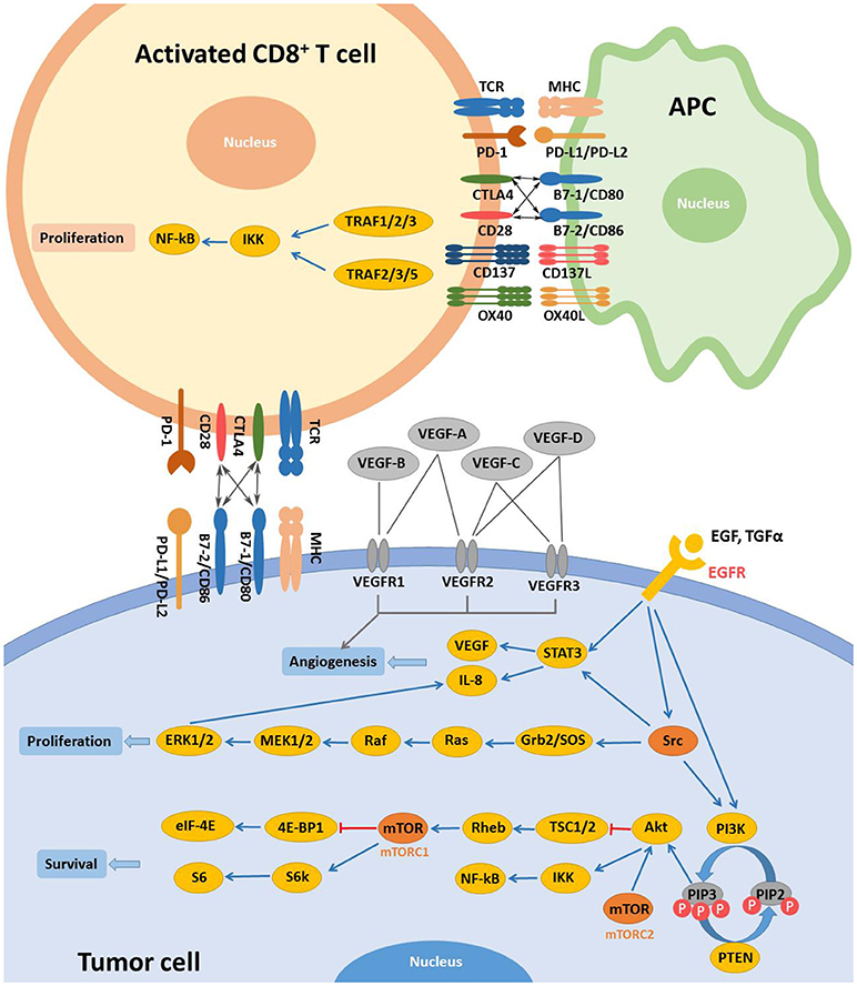 Frontiers | Progresses and Perspectives of Anti-PD-1/PD-L1 Antibody