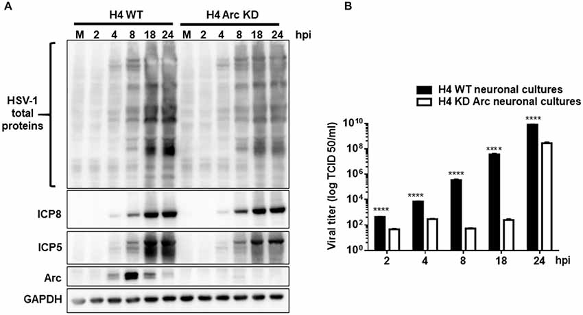 Frontiers | Herpes Simplex Virus Type 1 Enhances Expression