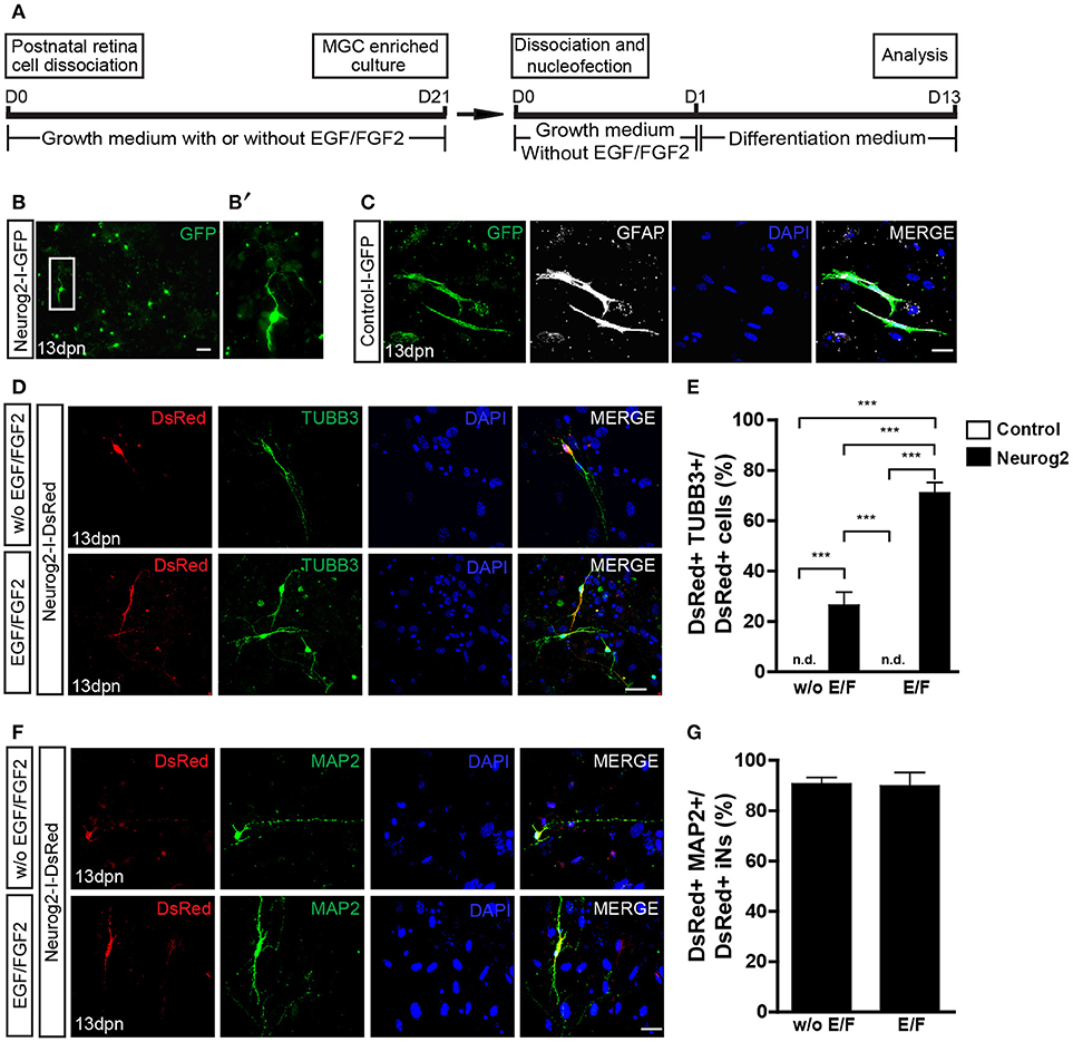 Frontiers | Evidence of Müller Glia Conversion Into Retina Ganglion