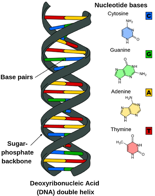 Figure 1 - Drawing of the way two strands of DNA pair together to form the double helix structure.