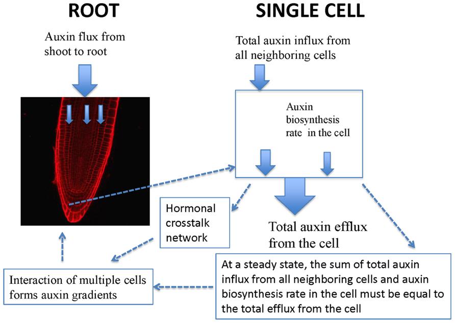 cytokinin and auxin relationship trust