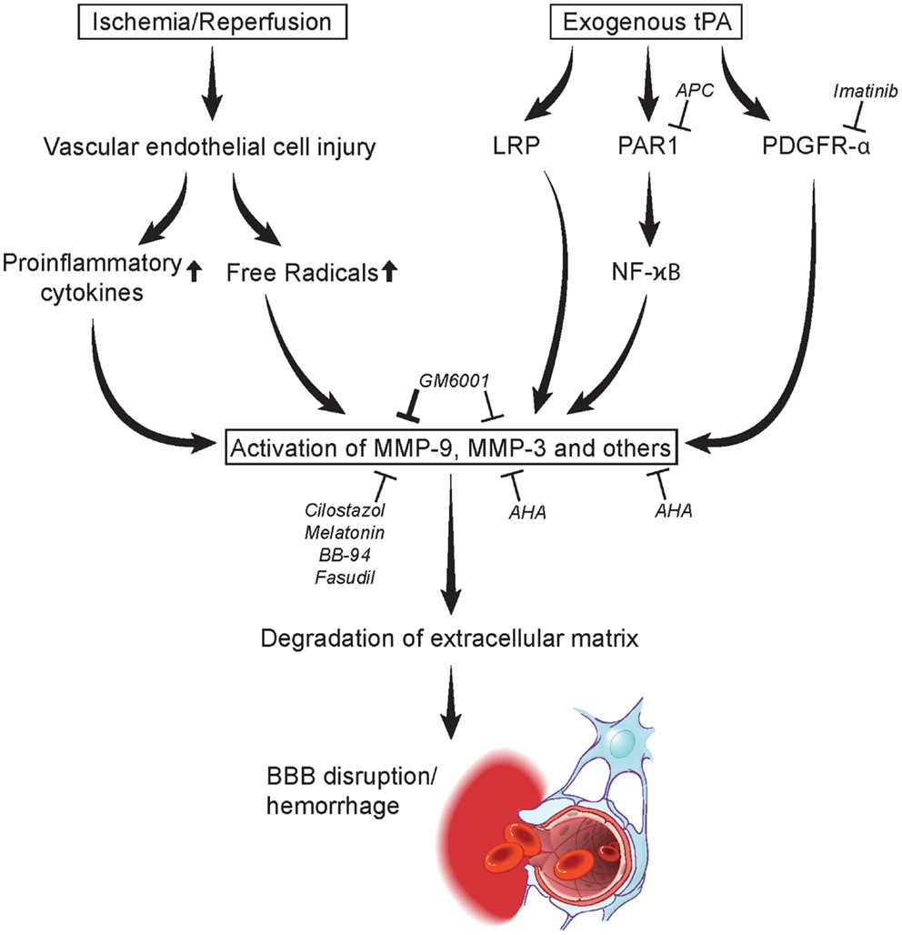 Frontiers | Matrix Metalloproteinases and Blood-Brain Barrier ...