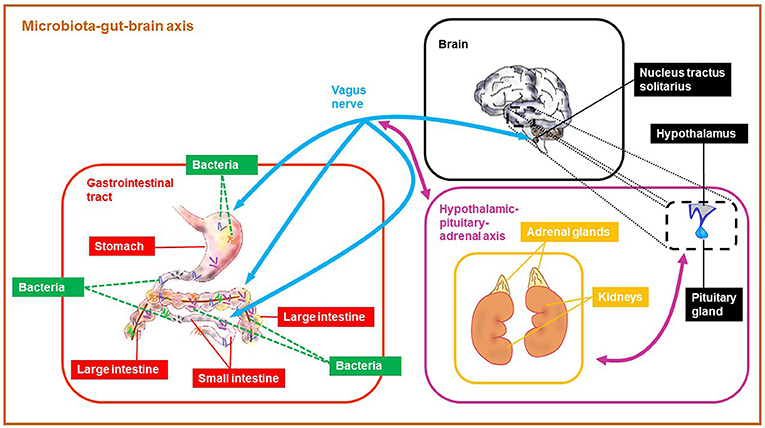 Figure 1 - The microbiota-gut-brain (MGB) axis is a link between gut bacteria and brain.