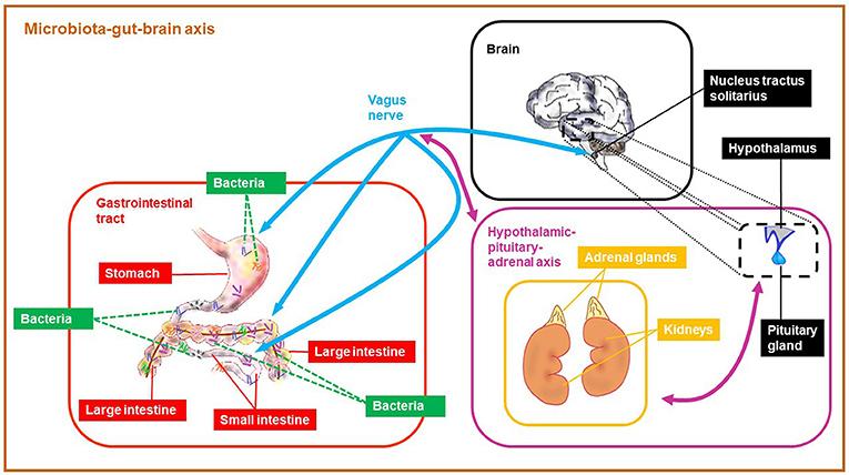 איור 1 - ציר המיקרוביוטה-מעיים-מוח (MGB) שמקשר בין חיידקי המעיים למוח.