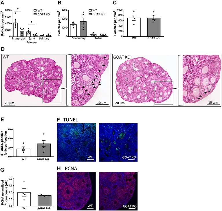 Frontiers Acylated Ghrelin Supports The Ovarian Transcriptome And