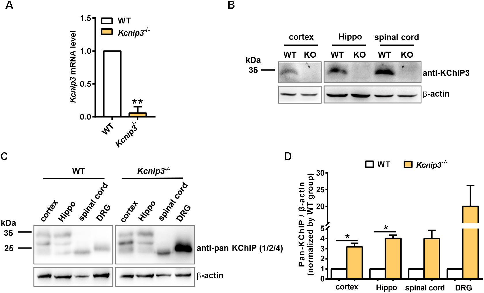 Frontiers | Global Gene Knockout of Kcnip3 Enhances Pain Sensitivity
