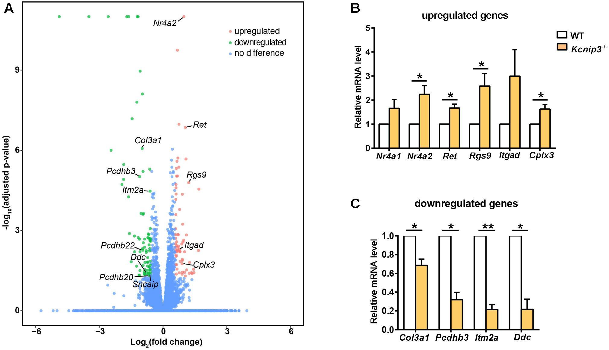 Frontiers | Global Gene Knockout of Kcnip3 Enhances Pain Sensitivity