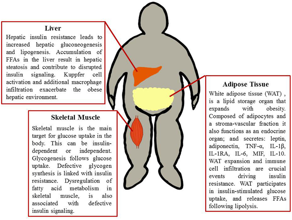 Frontiers Mechanisms Of Obesity Induced Inflammation And Insulin