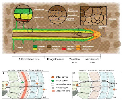 Frontiers | Root Exudation of Primary Metabolites
