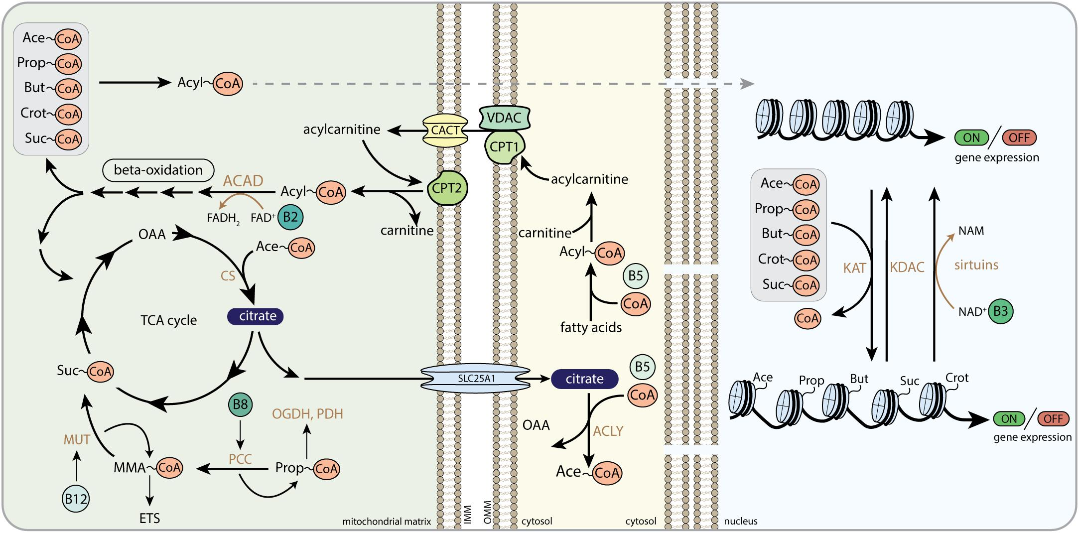 Frontiers | Mito-Nuclear Communication by Mitochondrial